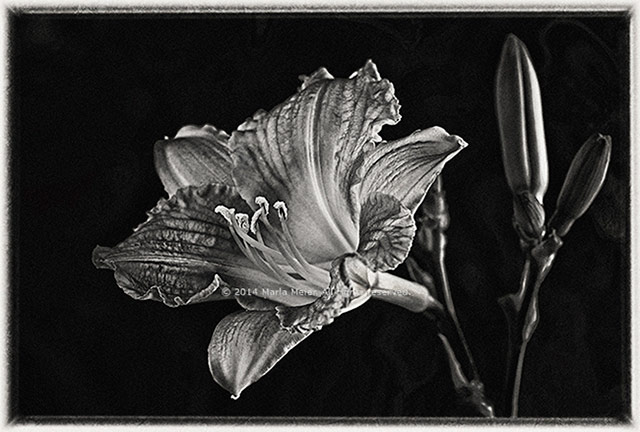 Day-lily-IMGP1744-72-blk-wht