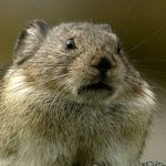 Pika, A High Country Critter