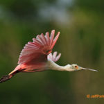 7 Tips for Photographing Birds in Flight