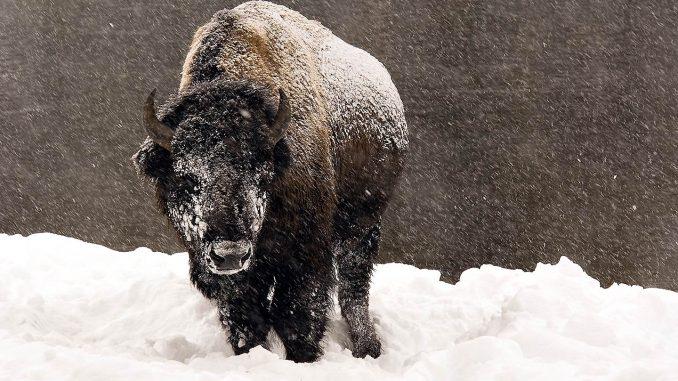 bison-winter