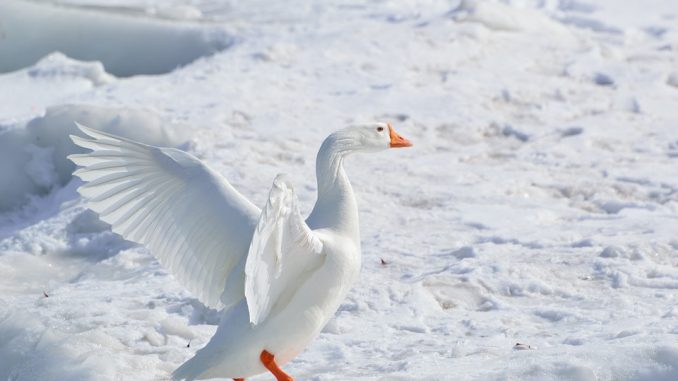 goose-winter-nature-photography-ideas
