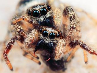 jumping_spider2