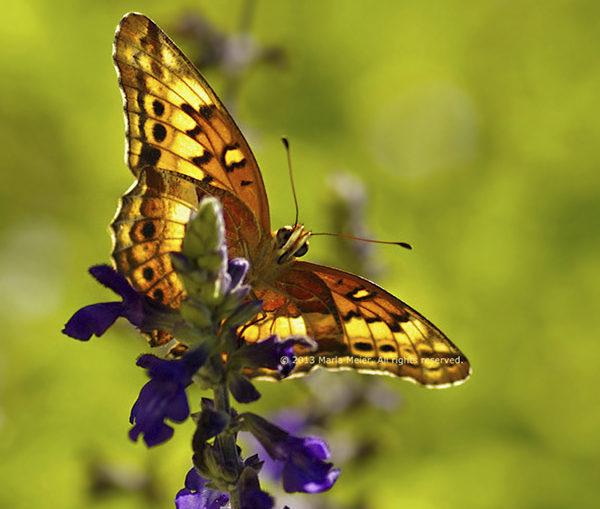 marla-meier-butterfly-Hopeland-Gardens