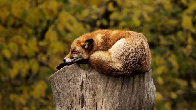 red-fox-photographing