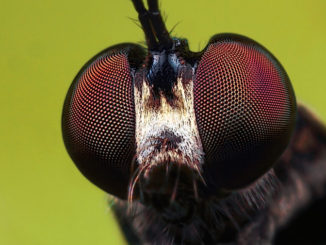 robberfly2-lead-photo