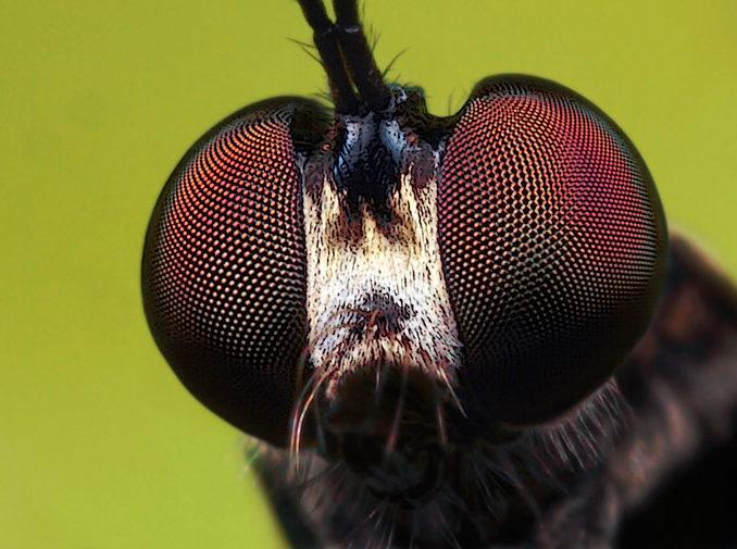 robberfly2-lead-photo