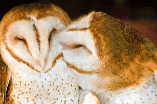 sca-owl-kiss