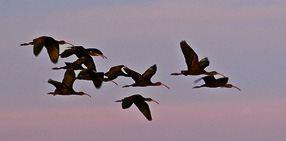 21-white-faced-ibis