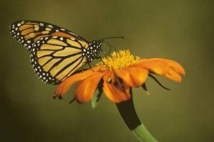 Macro_Monarch1