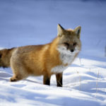 Foxes of Winter: A Photographer's Delight