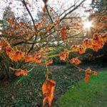 HAMAMELIS: Photographing Witch Hazel Flowers