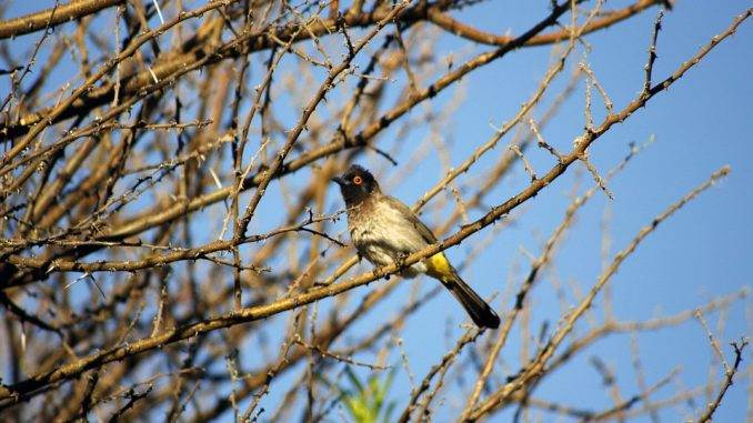 african-fly-catcher-1352208_960_720