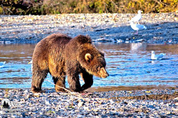 Joseph Classen: Miscellaneous Bears of Alaska &emdash; Kodiak Bear Fishing on the American River #4