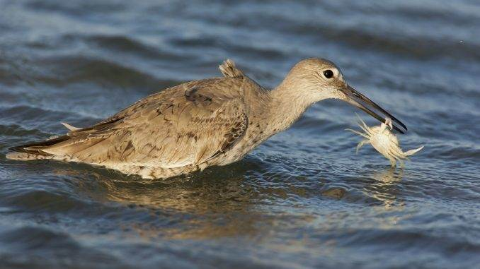willet eating crab - seabirds