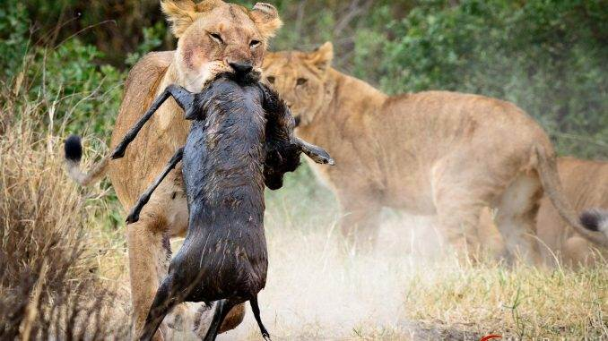 lion catching prey