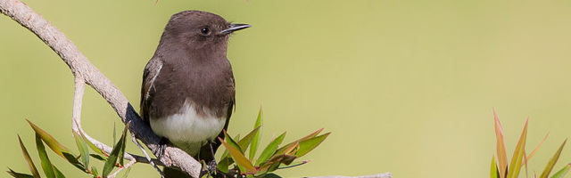 Bird Photography: image of Black Phoebe by Colin Dunleavy.