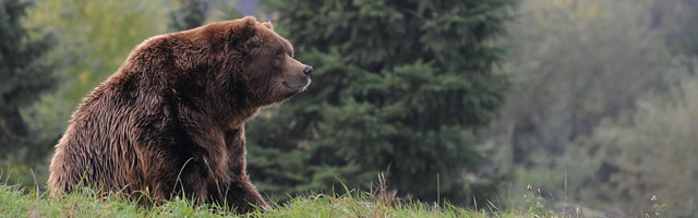 Image of Grizzly Bear sitting on a hill by Michael Leggero.