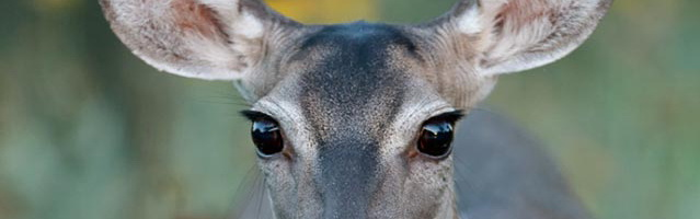 Close-up hoto of White-tailed Deer eyes by Jeff Parker.