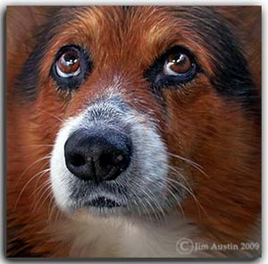 Creative photography: Close-up image of a brown and white dog's face by Jim Austin.
