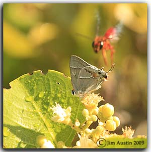 Creative photography: Photo of moth on flowering plant and wasp flying near by by Jim Austin.