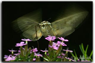 Creative photography: Image of moth flying near purple flowers by Jim Austin.