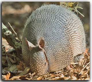 Creative photography: Image of armadillo in dry leaves by Jim Austin.