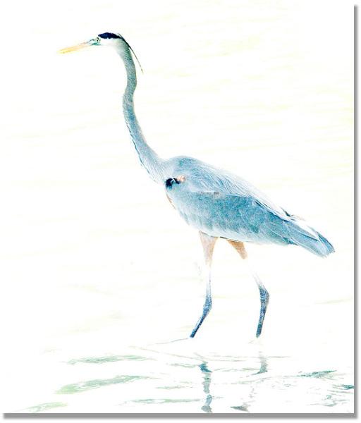 High key image of a Blue Heron by Jim Austin.