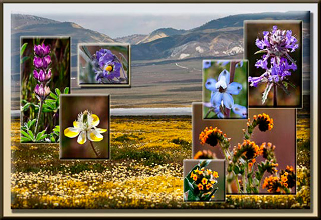 Photo collage of the Carrizo Plains and many different colored wildflowers by Noella Ballenger.