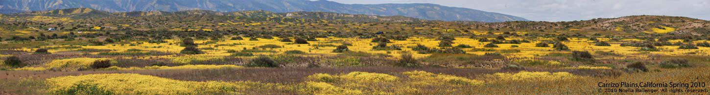 Small panorama photo of the Caliente Mountains and low hills of the Carrizo Plains with yellow colored plants and flowers by Noella Ballenger.