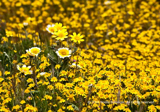 Photo of Tidy Tips and the sub-specie Yellow Tidy Tips nestle in a field of Goldfields on the Carrizo Plains by Noella Ballenger.