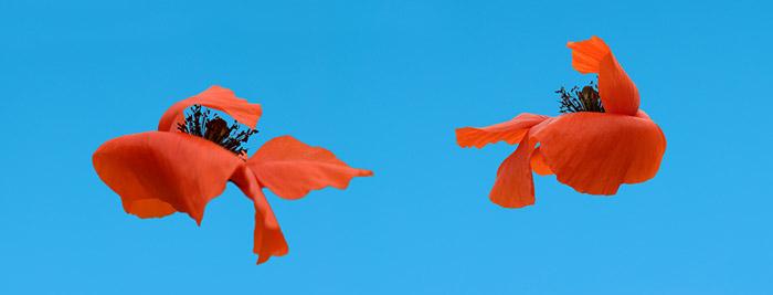 Photo of flowers floating in blue by Piero Leonardi