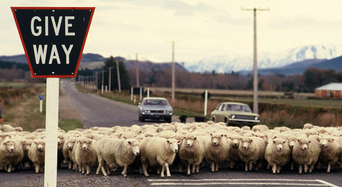 Photo of sheep in the road in South Island, New Zealand by Ron Veto