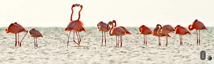 Photo of flamingos at Acklins Island in the Bahamas by Jim Austin