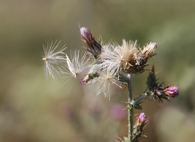 Close-up photo of thistle fowers and seeds by Noella Ballenger
