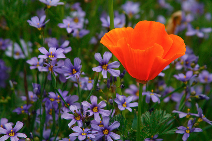 Photo of California Poppy in field of purple flowers by Noella Ballenger