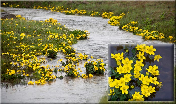 Photo of yellow flowers along riverbank by Noella Ballenger