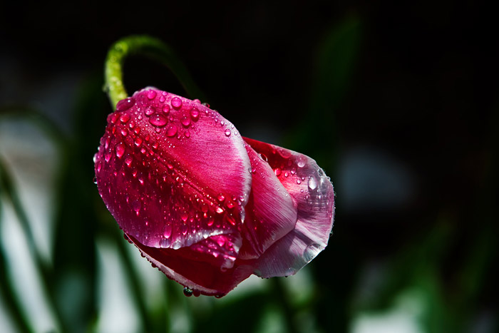 Close-up photo of Tulip with dew drops by Brad Sharp