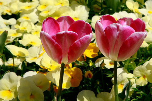 Photo of Tulips and yellow Pansies in harsh light by Brad Sharp