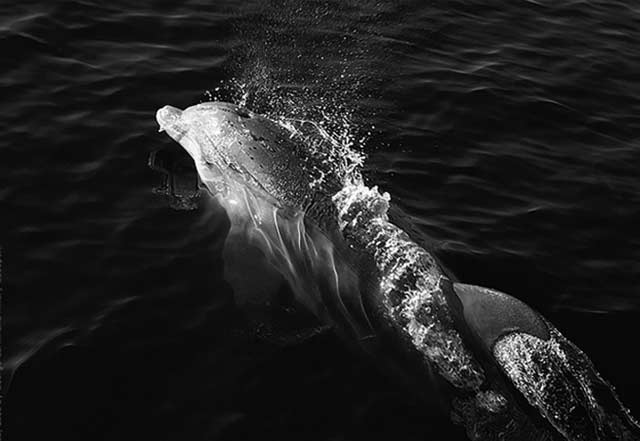 Black and White Inspired Photography: dolphin swimming in the ocean by Jim Austin.