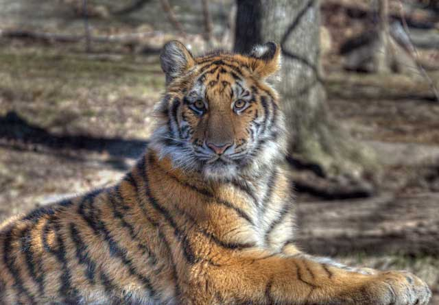 HDR Photography: portrait of tiger laying on the ground using high dynamic range / tonal mapping by Matthew Bamberg.