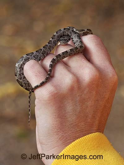 snake photography in the Wild: image of Rat Snake on handler's hand by Jeff Parker.