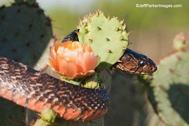 Photographing Snakes in the Wild: close-up image of Texas Indigo snake weaving through flowering cactus by Jeff Parker.
