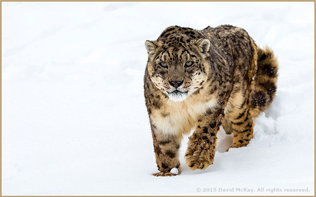 Image of a Snow Leopard in the snow by David McKay.