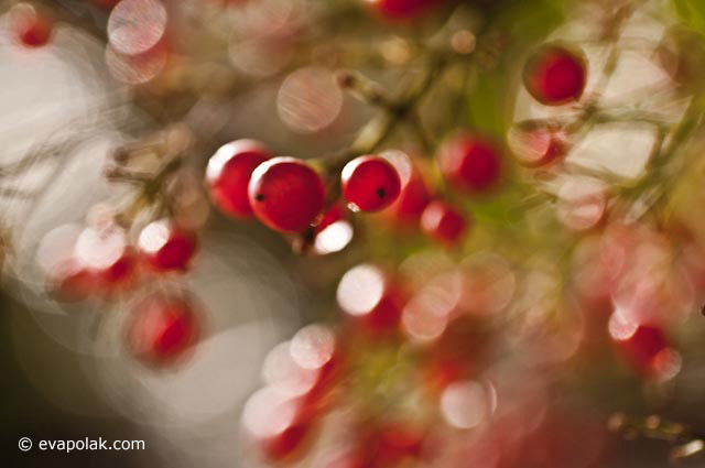 Image of red berries on branches using the principle of unity of similar shapes by Eva Polak.