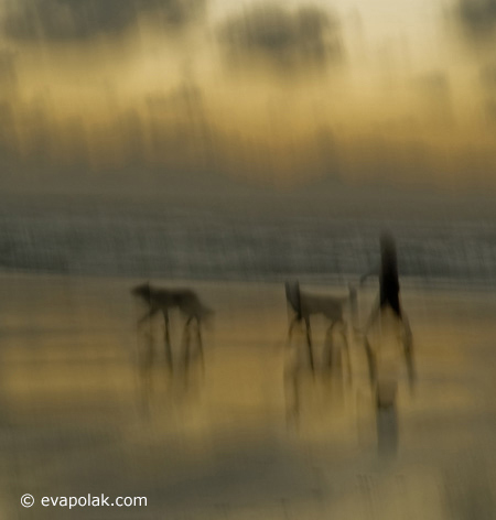 Intentional camera movement showing the principle of unity in Photography using  warm colors in and image of person walking their dogs on the beach by Eva Polak.