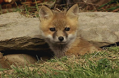 how to make a fox den