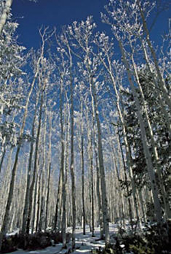 Aspen trees in the winter that create vertical repetitive lines by Andy Long.