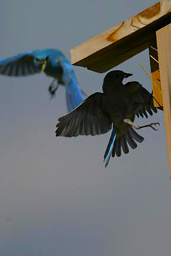 Silhouetted and blue bird flying near a nesting box by Andy Long.