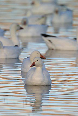 Focus on two snow geese floating on the water amoung other snow geese by Andy Long.