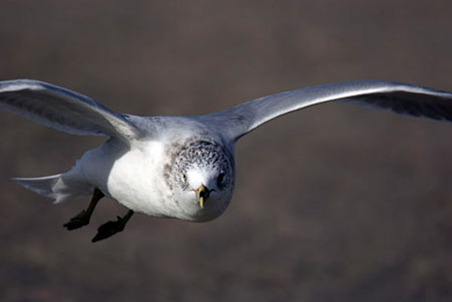 Close-up image of seagull in flight by Andy Long.